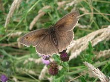 Photo of the soft brown winged Meadow Brown butterfly resting in the paddock's long grasses.