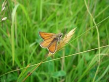 Photo of orangey butterfly, the Small Skipper, taken in the paddock's long grass